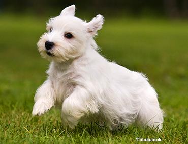 the-sealyham-terrier101728521 (1).png